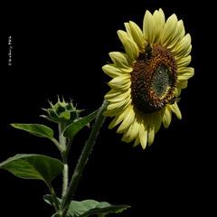 Соняшник декоративний / Sunflower / Helianthus