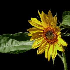 Соняшник / Sunflower / Helianthus