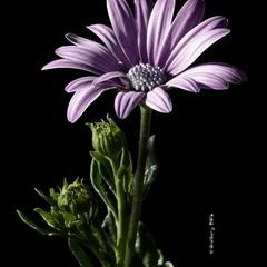 Африканська ромашка або Остеоспермум / Osteospermum