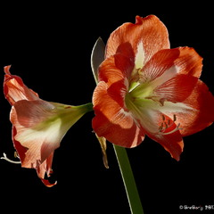 Амариліс /Amaryllis purpurea (major)