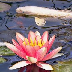 На озере в райском саду (продолжение)