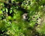 Лесная завирушка (лат. Prunella modularis)