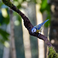 Лазоревка (Parus caeruleus)