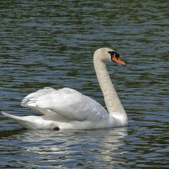Лебедь-шипун (Cygnus olor)