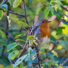 Зарянка,Вільшанка (Erithacus rubecula) European Robin.