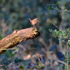 Крапивник (лат. Troglodytes troglodytes)