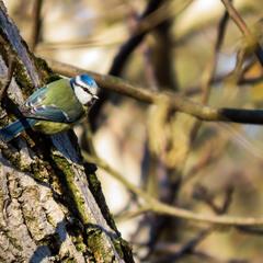 Лазоревка (Parus coeruleus L.)