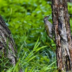 Седой дятел (лат. Picus canus)