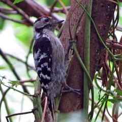 Малый пестрый дятел (Dendrocopos minor)