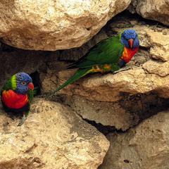 Радужный лорикет,Многоцветный лорикет (лат. Trichoglossus haematodus)