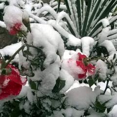 Зимняя роза