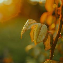 вечернее солнце листья розы...