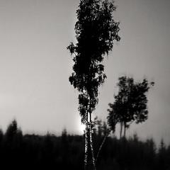 И стоят берёзы...В сонной тишине...