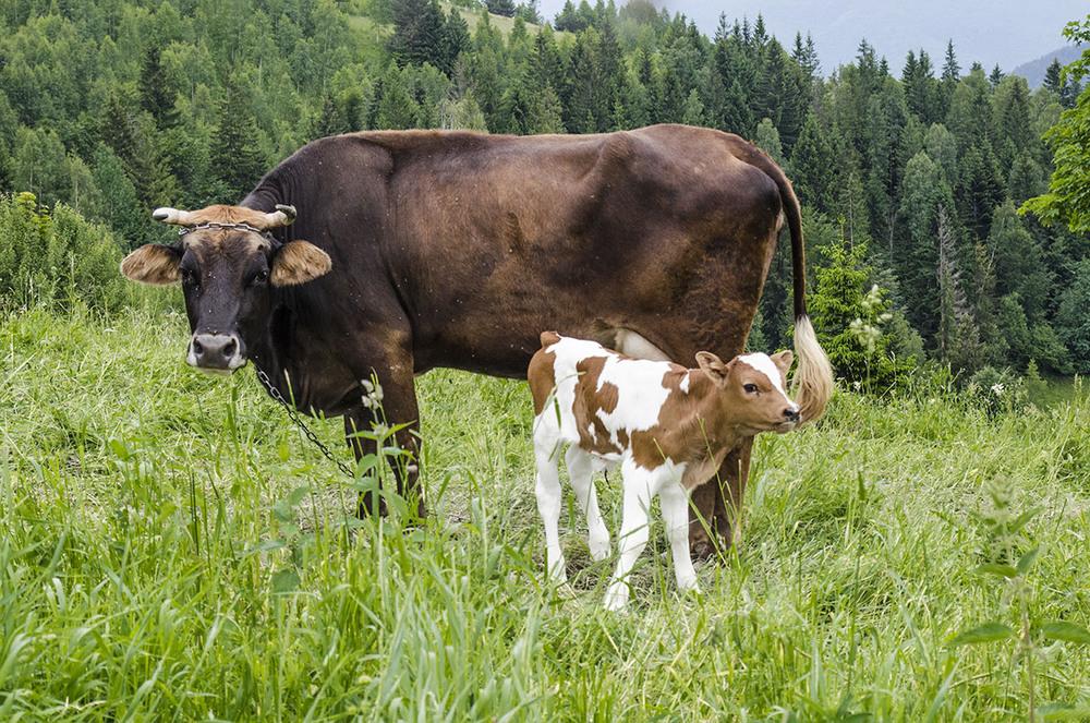 первым фото коровы с теленком на лугу рылов