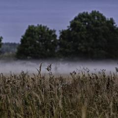 Тумани лугові...