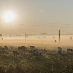 """Ранок на пасовищі... """"Миколини тумани"""""""