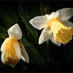 Narcissus Poeticus...