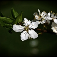 Весняний цвіт 2...