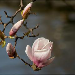 когда магнолии цветут