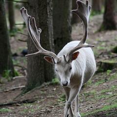 про белого оленя