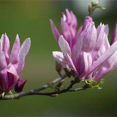опять цветут магнолии