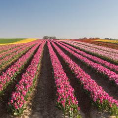 тюльпановий рай