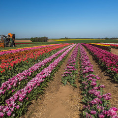 работы на тюльпановых полях