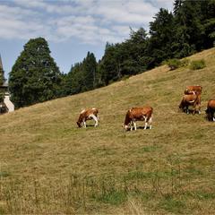 пейзаж с коровами )