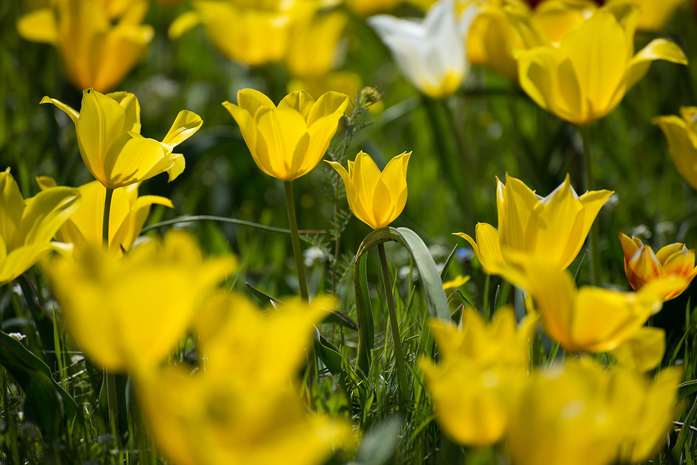 всех сторон полевые желтые тюльпаны фото правило, они встречаются