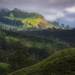 В царстве чая. Муннар, Индия.