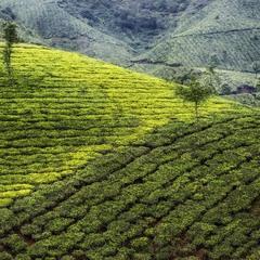 Зелёные ковры чайных плантаций...