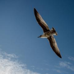Парит в небесах вольной птицей