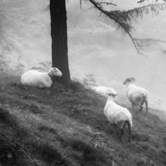 Овцы без пастыря