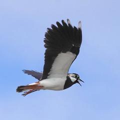 Політ чайки