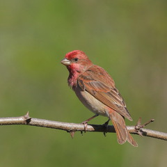 Птица чечевица