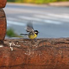 Пташеня з жовтим животиком )