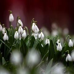 Благовестники весны