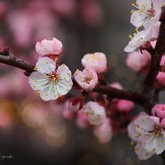 Один раз в год сады цветут...