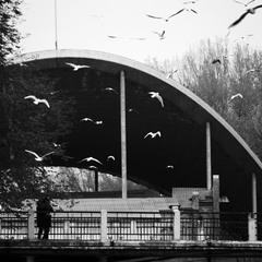 Городские чайки.