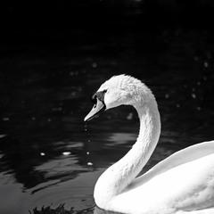 """"""" А белый лебедь на пруду..."""""""