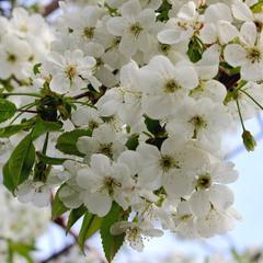 Вишня цвіте - як же гарно..