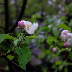 Крізь яблунь цвіт весняний...