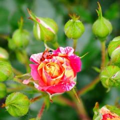 Сонечко в трояндах....