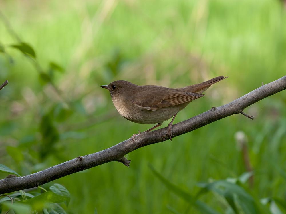 идеально фото соловьев птиц сайт