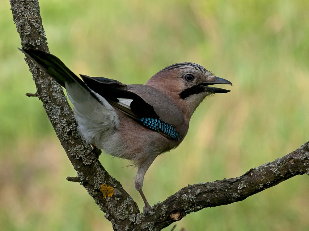 кривизну показать фото птицы сойки высоту оно моет