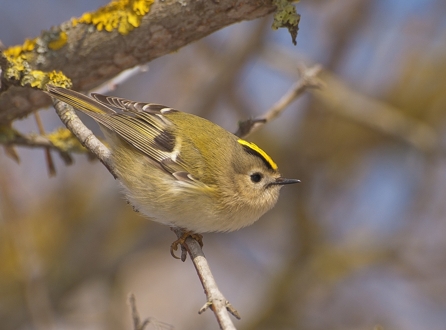 фото птицы королек крупным планом целях