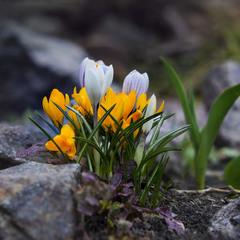 "...й ""на камінні"" ростуть шафрани..."