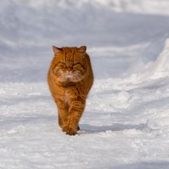 Той, який гуляє сам по собі