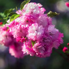 Сакури цвітіння - символ відновлення