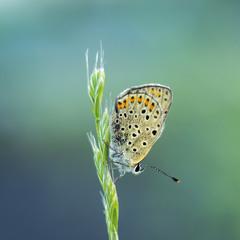 Пронто метелик